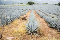 Tequila, Jalisco, Mexico:. Birthplace of tequila Royalty Free Stock Photo