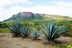Tequila krajobraz Fotografia Royalty Free