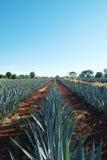 Tequila krajobraz 4 Fotografia Royalty Free