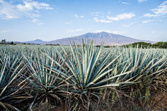 Tequila krajobraz Zdjęcia Royalty Free