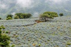 Tequila krajobraz Zdjęcie Stock