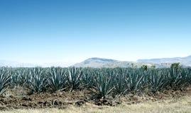 Tequila krajobraz Obraz Stock