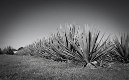 Tequila krajobraz Obraz Royalty Free