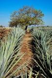 Tequila krajobraz Obrazy Stock