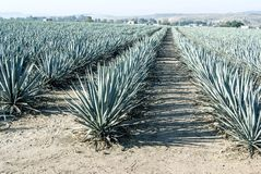 Tequila Krajobrazowa agawa Zdjęcie Stock
