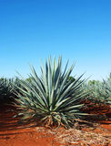 Tequila Landscape. Agave tequila landscape to Guadalajara, Jalisco, Mexico Royalty Free Stock Photography