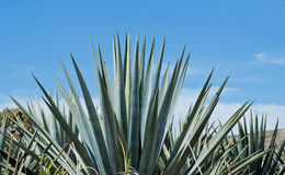 Tequila Landscape Royalty Free Stock Image