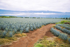 Tequila Landscape. Agave tequila landscape to Guadalajara, Jalisco, Mexico Stock Photos