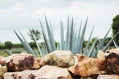 Tequila Landscape Stock Photos