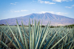 Tequila Landscape. Agave tequila landscape to Guadalajara, Jalisco, Mexico stock images