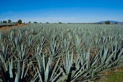 Tequila México de Lanscape foto de archivo libre de regalías