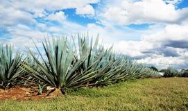 Tequila México de Lanscape Imágenes de archivo libres de regalías