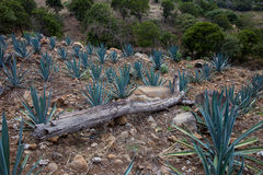 Tequila, Mexico Stock Images