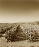 Tequila Mexique de Lanscape images stock