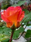 Tequila-Sonnenaufgang Rose Stockbild
