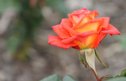 Tequila Sunrise Rose. A beautiful rose abloom in the colors of a tequila sunrise royalty free stock photo