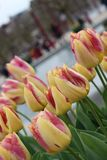 Tequila Sunrise Tulips. Flower bed of yellow-red tulips stock photo
