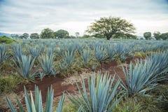 Tequilalandskap royaltyfria bilder