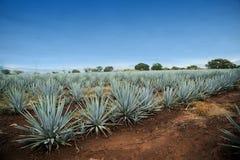 Tequilalandskap royaltyfri bild