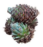 Tequilana d'agave Photos stock