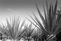 Tequilanainstallatie van de agave voor Mexicaanse tequilaalcoholische drank royalty-vrije stock afbeelding