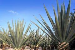 Tequilanainstallatie van de agave voor Mexicaanse tequilaalcoholische drank stock afbeelding