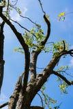 Terços inoperantes do céu da árvore Leafless ensolarados fotos de stock royalty free