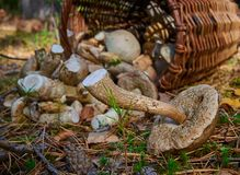 Ter plaatse gegoten van een mand van paddestoelen in het bos royalty-vrije stock foto's