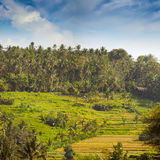 Teraced Rice Fields on a Hillside Plantation in Asia Royalty Free Stock Photos