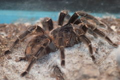 Terantula Royalty Free Stock Photo