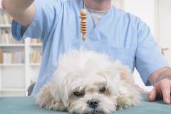 Terapista o veterinario che per mezzo del pendolo fotografia stock