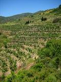 Terassenförmig angelegte Bananen-Plantage Stockfotografie