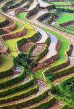Terassenförmig angelegte Reis-Felder Stockfotografie