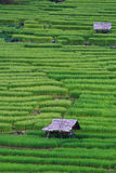 Terassenförmig angelegte Reisfelder in Nordthailand Stockfotografie