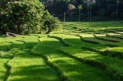 Terassenförmig angelegter Paddy archiviert und ein Landwirt von Kandy-Bereich von Sri Lanka stockfotografie