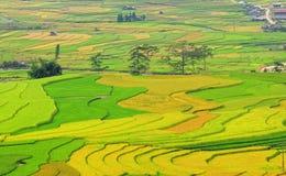 Terassenförmig angelegter Reis fängt das bereite Ernten in Yen Bai, Vietnam auf Stockfotos