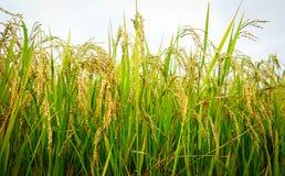 Terassenförmig angelegtes Ackerland mit Reisfeld in Bhutan Stockbild