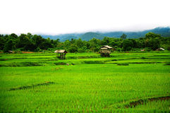 Terassenförmig angelegtes Reis-Feld Lizenzfreie Stockfotos