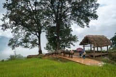 Terassenförmig angelegtes Reisfeld mit großer Baumlandschaft von Y Ty, Schläger Xat-Bezirk, Lao Cai, Nord-Vietnam Lizenzfreies Stockbild