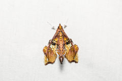 Terastia egialealis moth Royalty Free Stock Photography