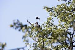 Terathopius ecaudatus, Bateleur Eagle, Moremi National Park, Botswana. One Terathopius ecaudatus, Bateleur Eagle, Moremi National Park, Botswana royalty free stock photography