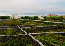 Terceira海岛的,亚速尔,葡萄牙传统葡萄园 库存图片