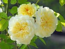 Tercet cytryn róże Obraz Royalty Free