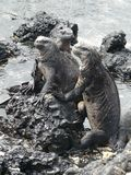 Tercet Czarne Denne iguany, Galapagos, Ekwador fotografia royalty free