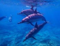 Tercet kądziołków delfinów pływanie w kierunku kamery Fotografia Royalty Free