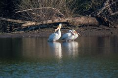 Tercet Podczas gdy pelikany obrazy stock