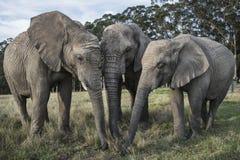 Tercet słonie Obrazy Royalty Free