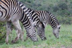 Tercet zebry karmienie Zdjęcia Stock