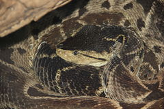 Terciopelo (Bothrops asper) Royalty-vrije Stock Foto