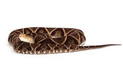Terciopelo Pit Viper Snake Coiled Up Stock Image